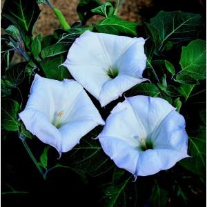 Datura meteloides 'Evening Fragrance' ™