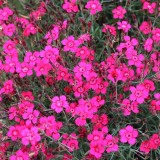 Dianthus deltoides 'Red Gem' ™
