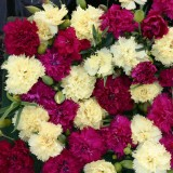 Dianthus caryophyllus 'Bananaberry Fizz' ™