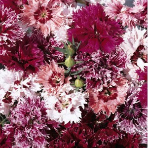 Dianthus chinensis 'Fringed Fancies' ™