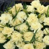 Dianthus caryophyllus 'Lemon Fizz' ™