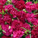 Dianthus caryophyllus 'Magenta Fizz' ™