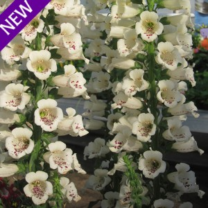Digitalis purpurea 'Cream Carousel'