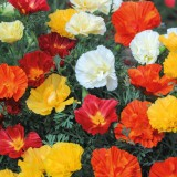 Eschscholzia californica 'Swirl Mix'