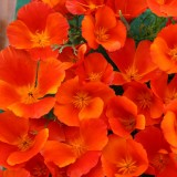 Eschscholzia californica 'Copper Pot' ™