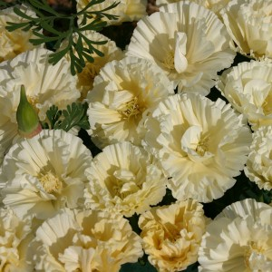 Eschscholzia californica 'Cream Swirl' ™