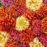 Gaillardia pulchella 'Dazzler Mixed' ™