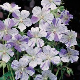 Geranium pratense 'Splish Splash'  ™