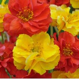 Geum flore plena 'Sunbeam' ™