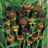 Helenium puberoleum 'Autumn Lollipop' ™