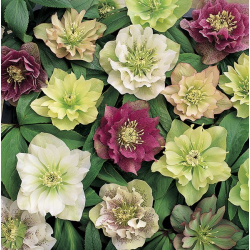 Helleborus orientalis 39 double queen mixed 39 wholesale for Helleborus orientalis