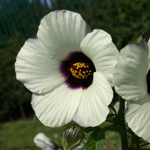 Hibiscus cannabinus 'Amethyst' ™