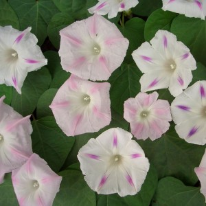 Ipomoea purpurea 'Blossom Star' ™