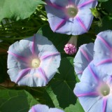 Ipomoea purpurea 'Blue Star' ™