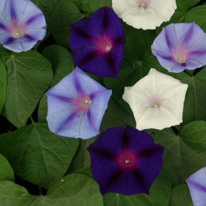 Ipomoea purpurea 'Celestial Mixed' ™