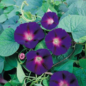 Ipomoea purpurea 'Star of Yelta'  ™