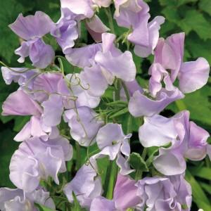 Lathyrus odoratus 'Ballerina Blue' ™