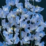 Lathyrus odoratus 'Blue Ripple' ™