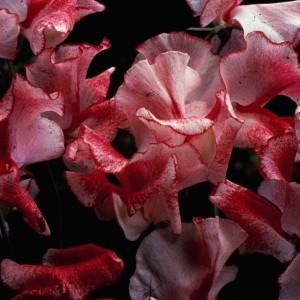 Lathyrus odoratus 'Crimson Ripple' ™