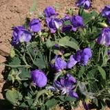 Lathyrus odoratus 'Cupid Blue' ™