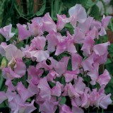 Lathyrus odoratus 'Lavender Striped Flush' ™