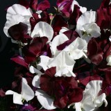 Lathyrus odoratus 'Night and Day' ™