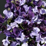 Lathyrus grandiflora 'Oxford and Cambridge' ™