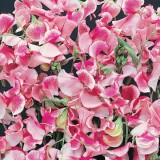 Lathyrus odoratus 'Pink and White Ripple' ™