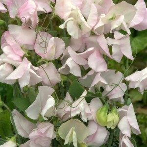 Lathyrus odoratus 'White Flush Rose' ™