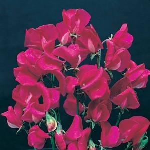 Lathyrus grandiflora 'Zorija Rose' ™
