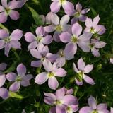 Laurentia hybrida 'Megastar Pink'