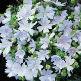 Malva moschata 'Snow White' ™