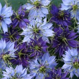 Nigella damascena 'University Mix' ™