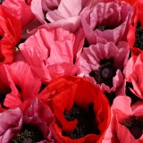 Papaver orientale 'Fruit Punch' ™