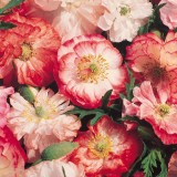Papaver rhoeas 'Picotee Mixed' ™