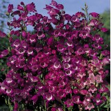 Penstemon mexicali 'Miniature Bells' ™