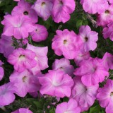 Petunia hybrida 'Tickled Rose'  ™