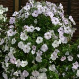 Petunia hybrida 'Tickled Blush'