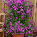 Petunia hybrida 'Tickled Pink'  ™