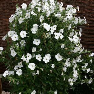 Petunia hybrida 'Tickled White'