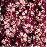 Phlox hybrida 'Peppermint Candy' ™