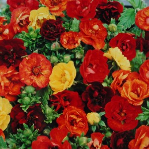 Potentilla hybrida 'Fireball Mixed' ™