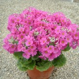 Primula malacoides 'Beauty Deep Pink' ™