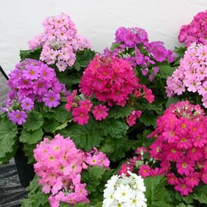 Primula malacoides 'Beauty Mix' ™