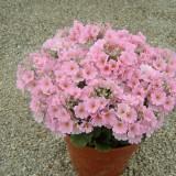 Primula malacoides 'Beauty Pink' ™