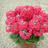 Primula malacoides 'Beauty Rose' ™