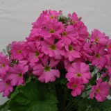 Primula malacoides 'Beauty Salmon' ™