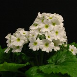 Primula malacoides 'Beauty White' ™