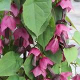 Rhodochiton atrosanguinea 'Bell Vine