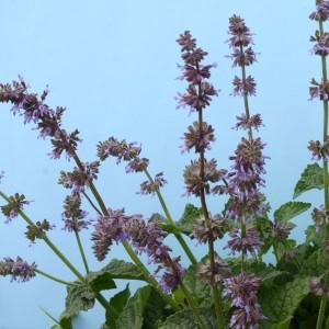 Salvia napifolia 'Baby Blue' ™